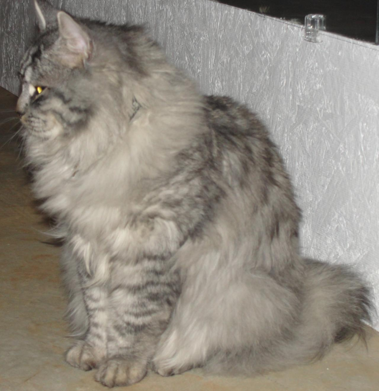 Soft Cat Food >> Siberian Cats - King Siberian Cat
