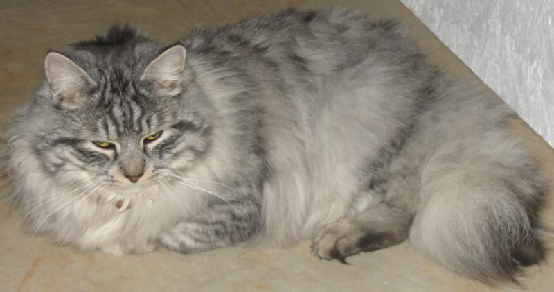 Persian Cat Homemade Food